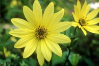 Helianthus microcephalus 'Lemon Queen'