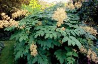 Aralia californica