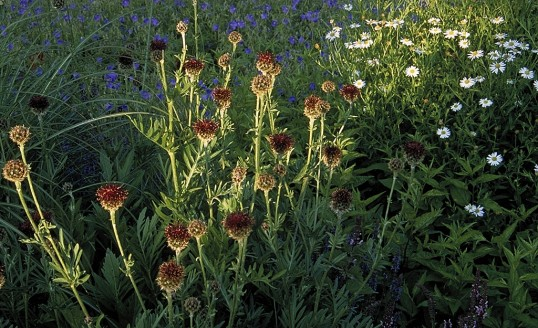 Centaurea benoistii `Royal Choice`