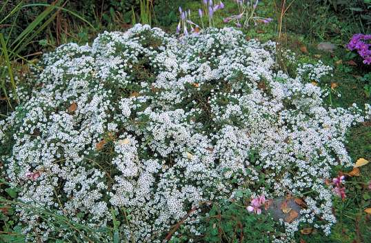 Aster pansos 'Snowflurry'