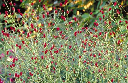 Wiesenknopf Sanguisorba 'Red Thunder'